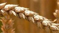 Chine: baisse du rendement de blé!