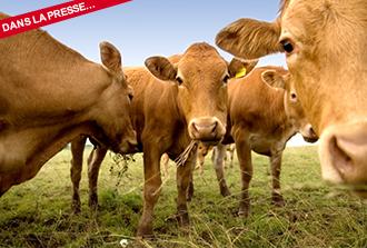 Les vaches, 'top modèles' de la recherche