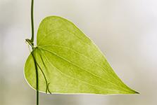 Du nouveau sur la résistance des plantes à la sécheresse