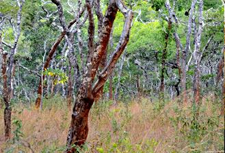 Le mystère du verdissement des forêts tropicales sèches