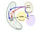 Respiration et photosynthèse unies pour la production de lipides chez les microalgues