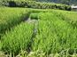 Tests en plein champ de riz sélectionnés par le programme DEMETERRES