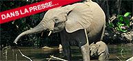 L'éléphant de forêt, gardien de la biodiversité et du climat