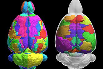 Un atlas du cerveau de rat pour mieux comprendre celui de l'Homme
