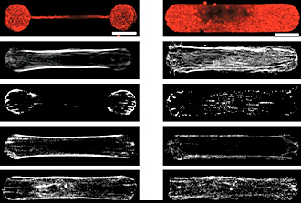 Mécanique des cellules : décidément très surprenante