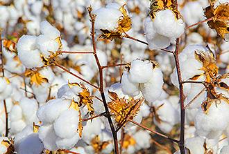 La géochimie révèle le commerce antique du coton entre l'Arabie et l'Inde