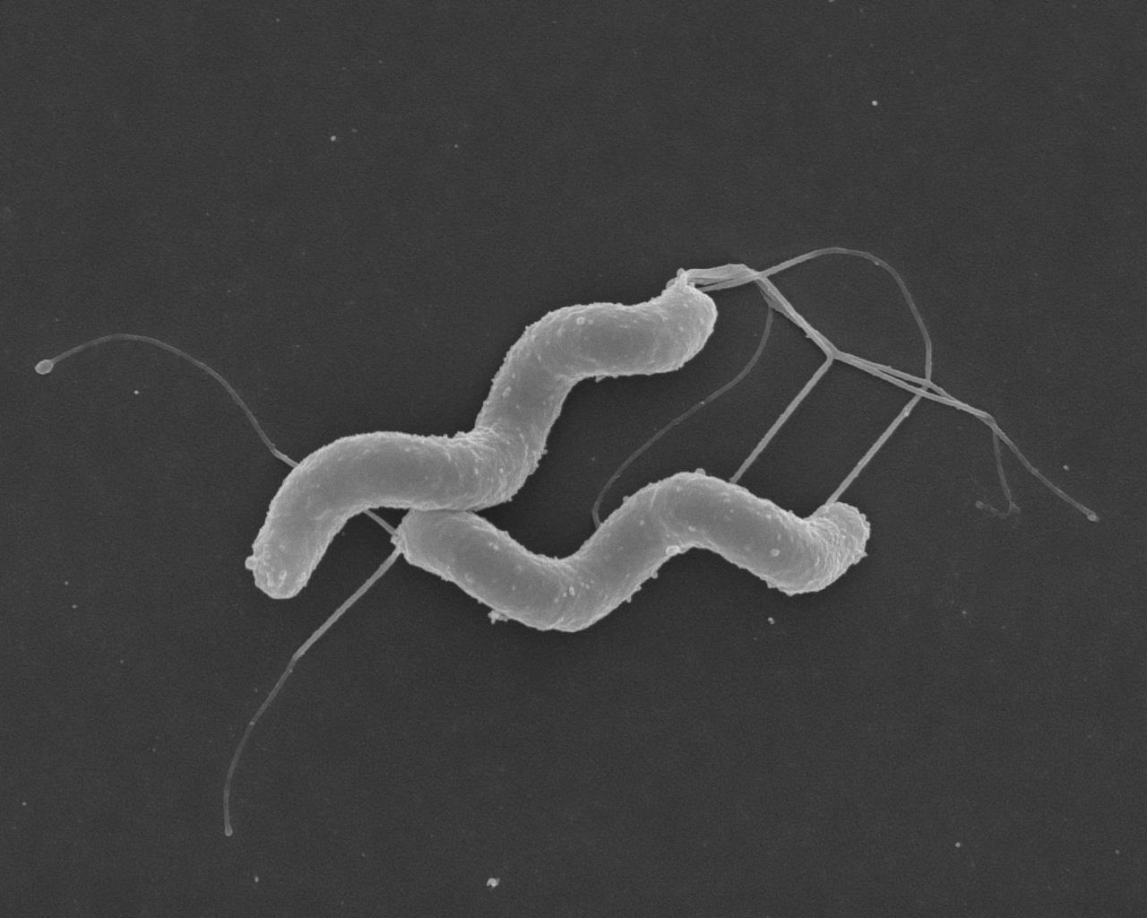 Helicobacter pylori, la preuve par l'infection…