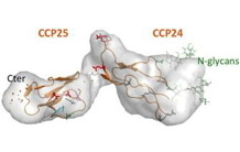 C1q and MBL opsonins use a common anchor site on the CR1 receptor