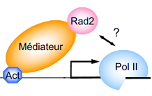 How the transcriptional machinery recruits a DNA repair protein?