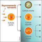 L'essentiel sur… les effets des rayonnements sur le vivant